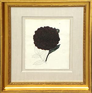 Plate 71 - Camellia: Edwin Dalton Smith (1823-1846)