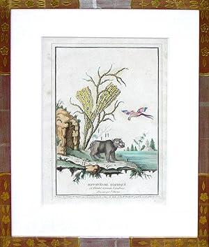 Hippopotame d'Afrique (hippo): Jacques Charton
