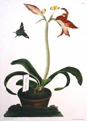 pt. 35] Amaryllis Miniata: Mrs. Edward Bury (Nee Priscilla Susan Falkner)
