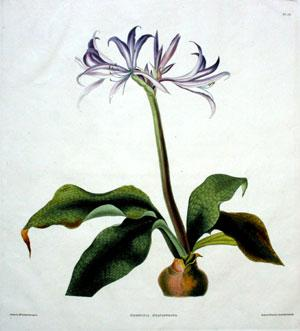 pt. 14] Griffinia Hyacinthina: Mrs. Edward Bury (Nee Priscilla Susan Falkner)