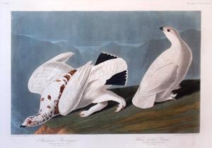 American Ptarmigan, White Tailed Grous, Plate CCCCXVIII (418): John James Audubon