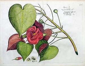 Bupariti, Fig. 29: Hendrik Adriaan van Rheede tot Draakestein
