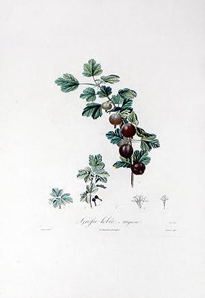 Grosse lobee, Mignone (Currant): Henri Louis Duhmanel du Monceau