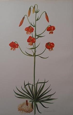 Lilium Pitkinese: Henry John Elwes