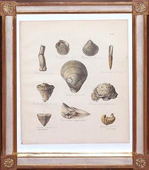 Plate 21 (shells): Edmund A. Crouch