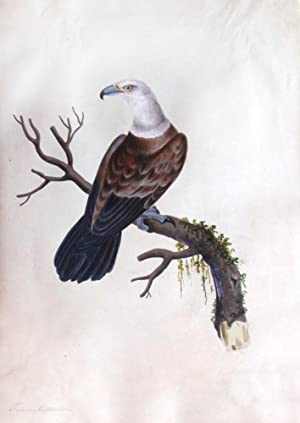 Watercolor of Vulture or Eagle