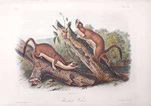 Bridled Weasel, Plate LX (60)