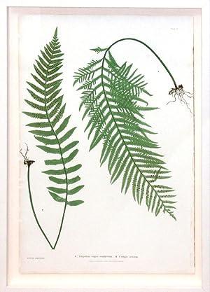 Plate 2 - Polypodium vulgare semilacerum.(pressed nature print of ferns): Thomas Moore