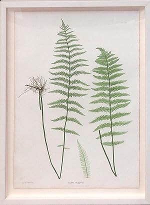 Plate 29 - Lastrea Thelypteris.(pressed nature print of ferns): Thomas Moore
