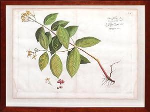 Plate 14 - Bem-Schetti (Indian botanical): Hendrik Adriaan van Rheede tot Draakestein