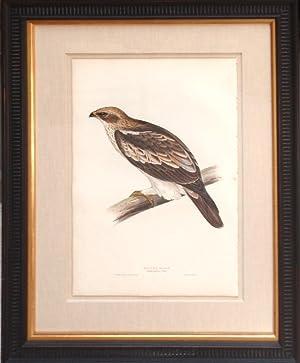 Booted Eagle: John Gould (1804-1881)