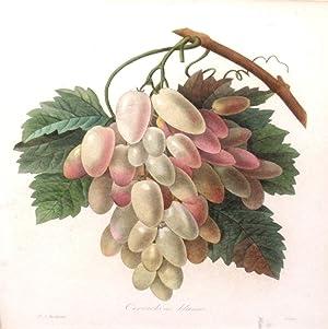 Cornichons blancs (grapes): Pierre Joseph Redoute (1759-1840)