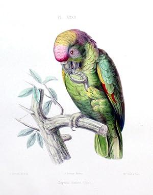 Plate 32 - Chrysotis diadema (spix) (Diadem parrot): Charles de Souance, Prince Charles Lucien ...