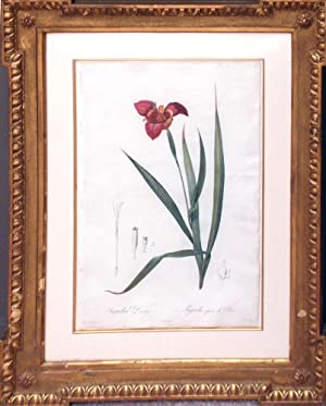 Plate 6 - Tigridia Pavonia (Tiger Flower): Pierre-Joseph Redouté (1759-1840)