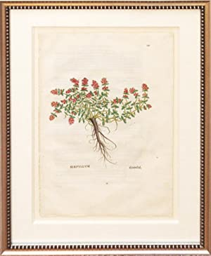 Plate 251 - Serpyllum (Wild Thyme): Leonhart Fuchs (1501-1567)