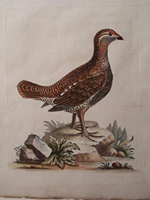 Pl. 71 The Brown and spotted Heath Cock: George Edwards