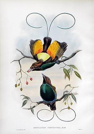 Diphyllodes Chrysoptera, Gould (Golden-winged Bird of Paradise): John Gould