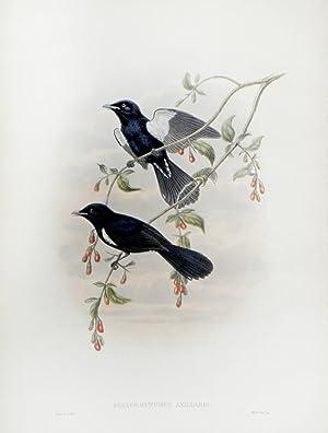 Piezorhynchus Axillaris (White-tufted Flycatcher): John Gould