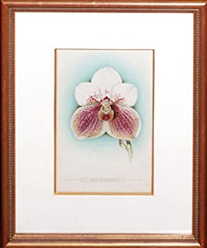 Vanda Sanderiana (original watercolor): James Laird Macfarlane