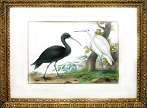 Glossy Ibis and Egret