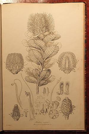 Illustrationes florae Novae Hollandiae, sive icones generum: BAUER, Ferdinand (1760-1826).