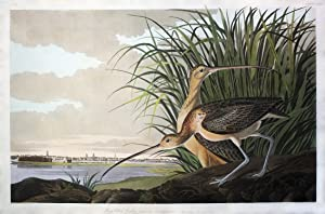 Long-billed Curlew (plate CCXXXI)