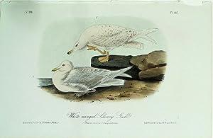 Audubon's Birds of America, White-winged Silvery Gull: John James Audubon