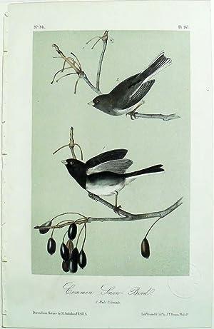 Audubon's Birds of America, Common Snow-Bird ,: John James Audubon