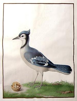 Blue Jay (Cyanocitta Cristata). Gouache on vellum with gold fillet.: Robert, Nicolas (1614-1685)