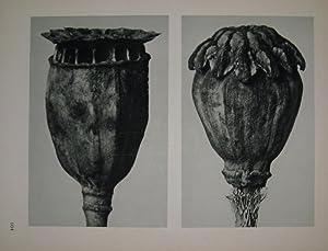 Papaver (poppy-head) Plate 104: BLOSSFELDT, Karl