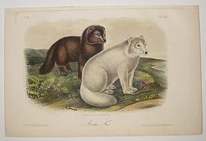 Arctic Fox [Plate 121]: AUDUBON, John James