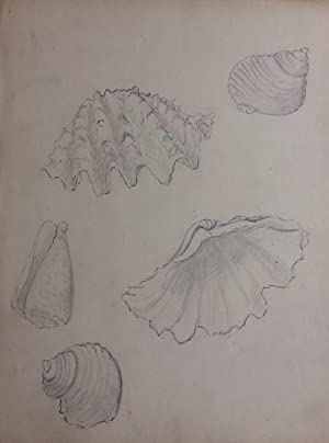 Coquilles; Shells - original drawing