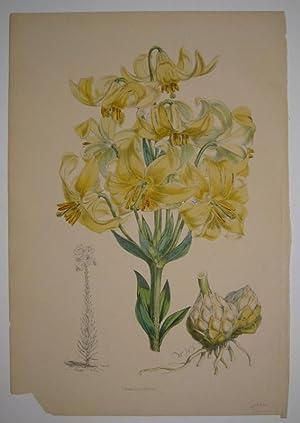 Lilium testaceum: FITCH, Walter Hood