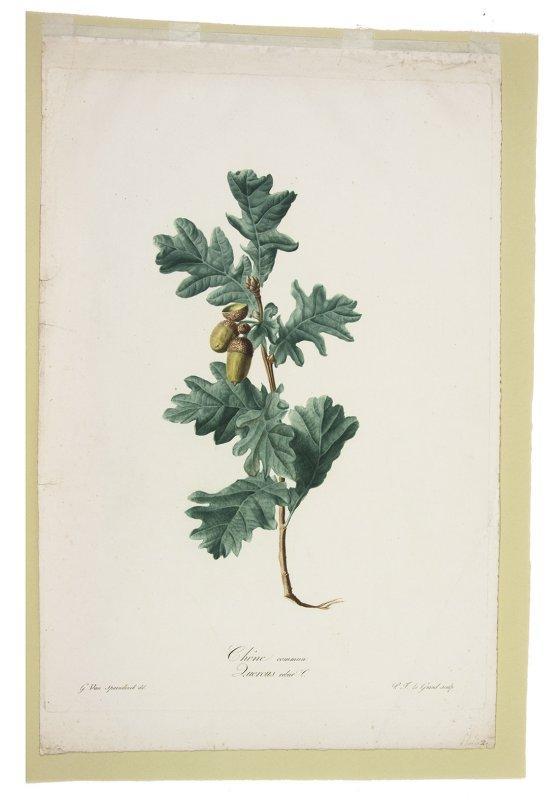 Chene Commun Quercus Robur L From Fleurs Dessinees D Apres