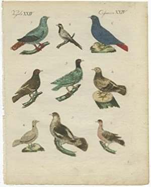 Antique Print of various Pigeons by F.J. Bertuch (c.1800)