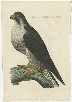 Antique Bird Print of a Peregine Falcon by Sepp & Nozeman (c.1770)