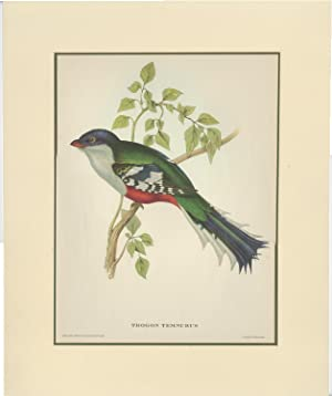 Antique Bird Print of a Proteins Temnurus by C. Hullmandel (1955)