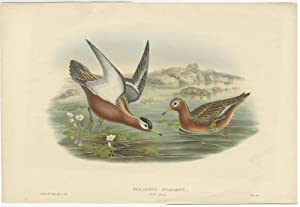 Antique Bird Print of the Red Phalarope by J. Gould (1832)