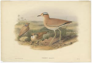 Antique Bird Print of the Cream-Coloured Courser by J. Gould (1862)