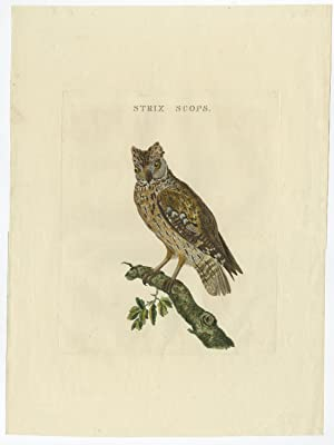 Antique Bird Print of the Scops-Eared Owl by Sepp & Nozeman (1829)