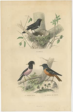 Antique Bird Print of various Blackbird by E. Travies (c.1860)