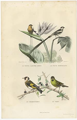 Antique Bird Print of the Goldfinch and Pin-Tailed Whydah by E. Travies (c.1860)