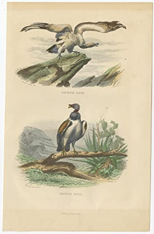 Antique Bird Print of Vultures (Birds of Prey) by E. Travies (c.1860)