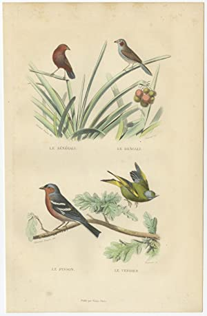 Antique Bird Print of Chaffinch and Greenfinch by E, Travies (c.1860)