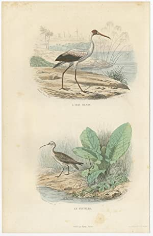 Antique Bird Print of a White Ibis and a Curlew by E. Travies (c.1860)