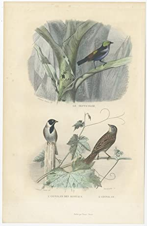 Antique Bird Print of Tanager and Ortolan by E. Travies (c.1860)