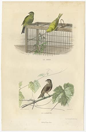Antique Bird Print of a Canary and Linnet by E. Travies (c.1860)