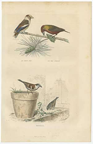 Antique Bird Print of various Beak and Sparrows by E. Travies (c.1860)