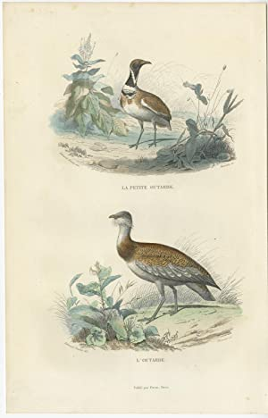 Antique Bird Print of various Bustard Birds by E. Travies (c.1860)