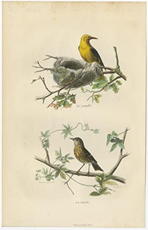 Antique Bird Print of an Oriole and Thrush by E. Travies (c.1860)
